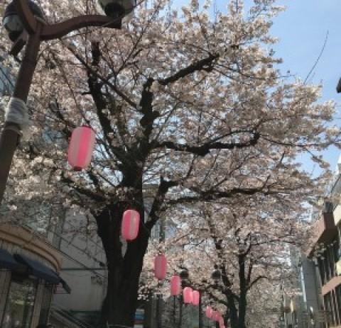 自由が丘 マリクレール通りの桜!