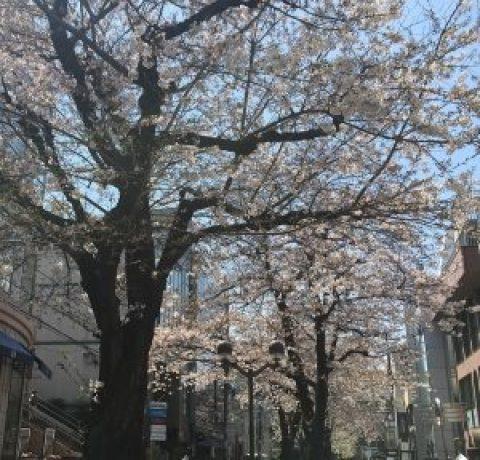 自由が丘 マリクレール通りの桜 2017!