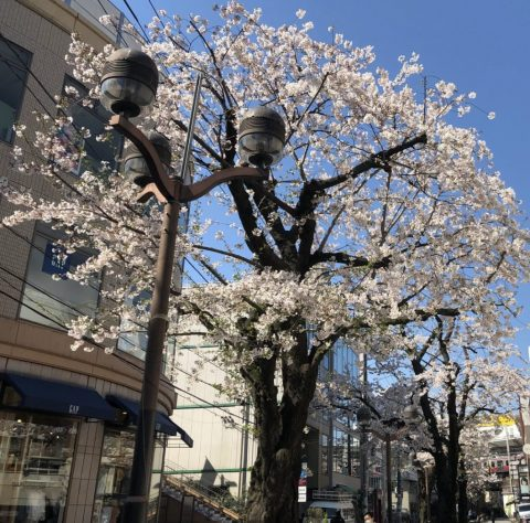 自由が丘 マリクレール通りの桜 2019!